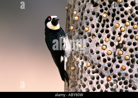 Acorn Woodpecker and Stored Acorns