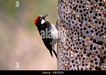 Acorn Woodpecker with Stored Acorns
