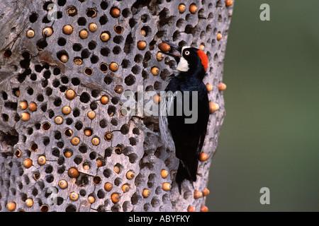 Acorn Woodpecker with Acorn - Stock Photo