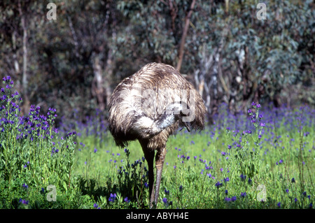 Emu grazing in a field of purple flowers - Stock Photo