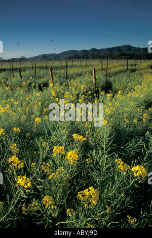 Hot air balloons rise in morning over vineyard filled with Mustard flowers in spring Napa Valley Wine Country California - Stock Photo