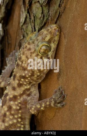 Mediterranean Gecko [Hemidactylus turcicus] Louisiana - USA - Head shot - Stock Photo