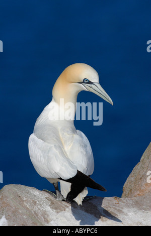 Gannet Northern adult against blue sea Morus Bassanus Saltee Islands Kilmore County Wexford Ireland Europe EU - Stock Photo