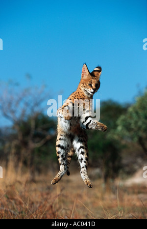 Serval Felis serval Have long legs and are able to jump for flying birds Africa - Stock Photo