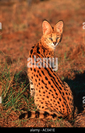 Serval Felis serval Beautifully spotted barred coat Africa - Stock Photo