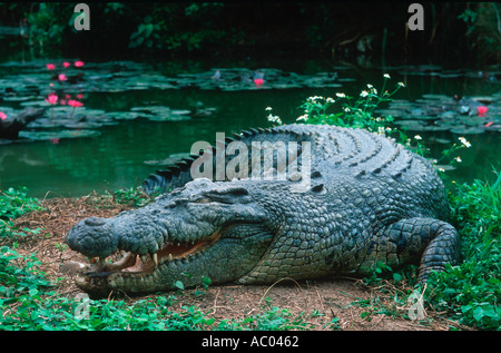 Estuarine Saltwater Crocodile Crocodylus porosus Basking open mouthed is a means of temperature regulation Australia - Stock Photo