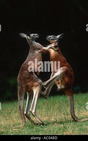 Red Kangaroo Macropus rufus Adult males fight for dominance Australia - Stock Photo