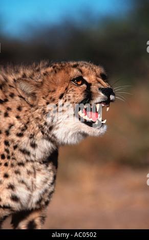 Cheetah Acinonyx jubatus Snarling Africa Middle East - Stock Photo