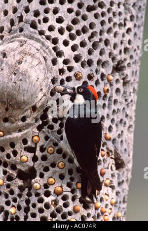 Acorn Woodpecker and Stored Acorns - Vertical