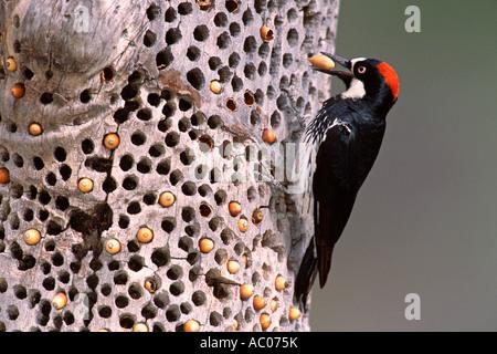 Acorn Woodpecker Storing Acorns - Stock Photo