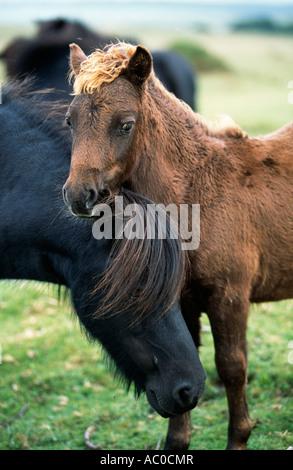 Dartmoor Pony and Foal. - Stock Photo
