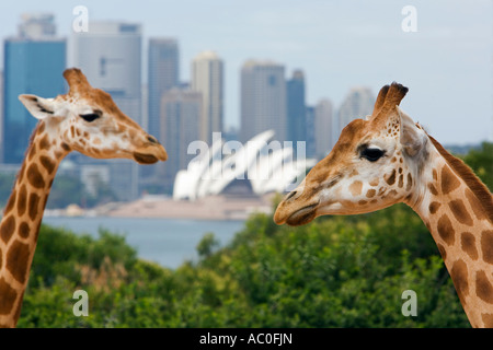 Giraffes at Taronga Zoo with a scenic backdrop of the Opera House and Sydney harbour - Stock Photo