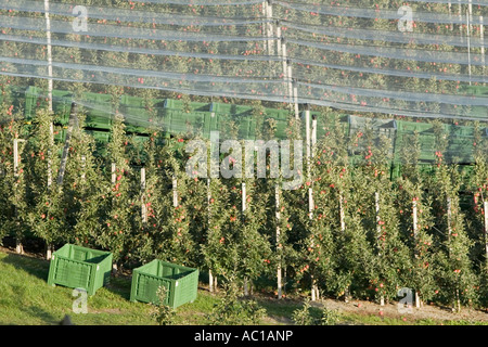 Rows of Vinschgau apple trees and empty crates, South Tyrol, Italy - Stock Photo