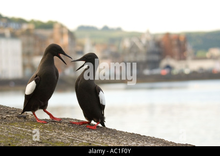 A pair of black guillemots Cepphus grylle, during their courtship dance, Oban, Scotland - Stock Photo