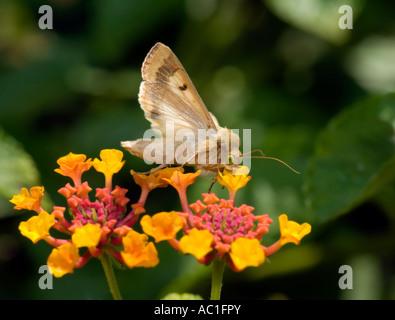 Helicoverpa zea Moth on Lantana, Ageratum houstonianum. Oklahoma, USA. - Stock Photo