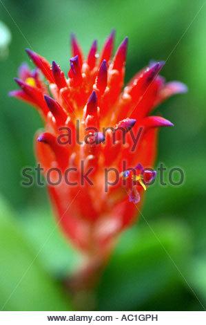 Billbergia pyramidalis - Stock Photo