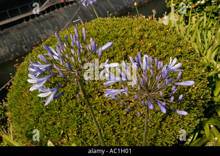 Royal Mail Steamer RMS Queen Mary Long Beach California Agapanthus - Stock Photo