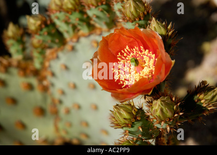 Red flower of prickly pear cactus, Opuntia sp, Sonora Desert - Stock Photo
