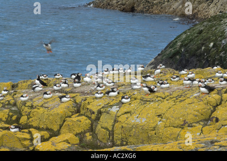 Flock of puffins Fratercula arctica resting on rocks covered with maritime sunburst lichen Xanthoria parietina Farne - Stock Photo