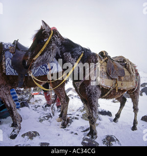 mule (Equus asinus x caballus), Load-animal in East Anatolia, Turkey, East Anatolia - Stock Photo
