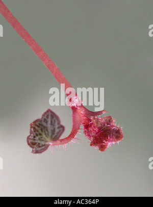Mother-of-Thousands, Strawberry Geranium, Creeping Saxifrage (Saxifraga stolonifera), stolon with young leaf - Stock Photo