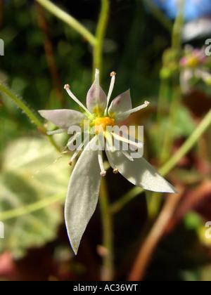 Mother-of-Thousands, Strawberry Geranium, Creeping Saxifrage (Saxifraga stolonifera), flower - Stock Photo