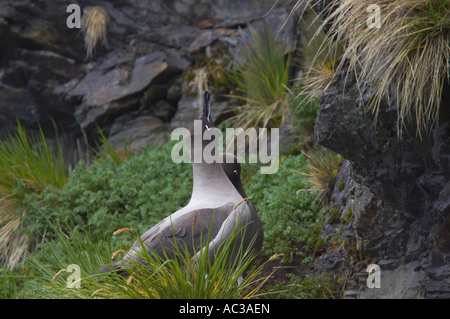 Light Mantled Sooty Albatross On nest site Phoebetria palpebrata Gold Harbour South Georgia BI007129 - Stock Photo