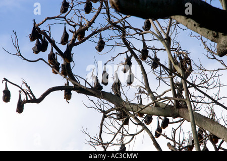 Fruit Bats hanging from trees in the Royal Botanical Gardens Sydney Australia on 10 July 2007 - Stock Photo