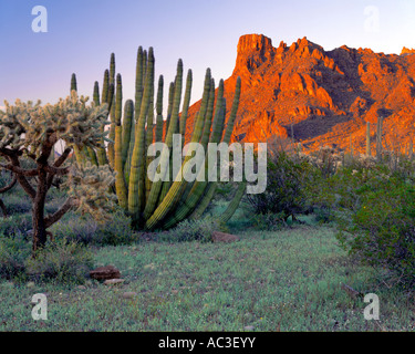 Organ Pipe Cactus National Monument AZ Organ pipe and cholla cactus with sunset light on the Ajo range - Stock Photo