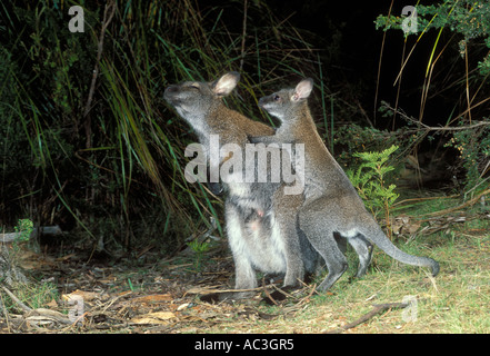 Red necked Wallaby Macropus rufogriseus Mother and large joey Photographed in Tasmania Australia - Stock Photo