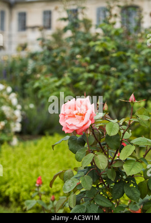 Pink rose in gardens of L'Abbaye et les Jardins de Valloires in france eu Stock Photo