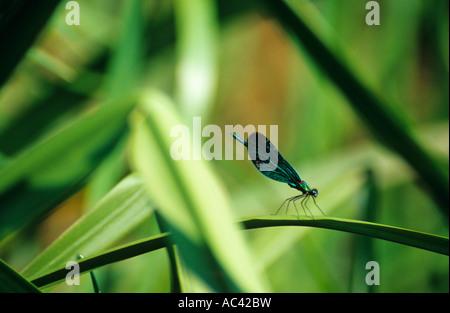 Beautiful Demoiselle ( Calopteryx virgo ) - Stock Photo
