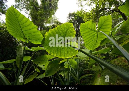 Upright Elephant Ear leaves in a forest of the Chiapas (Mexico). Feuilles d'alocasia dans une forêt du Chiapas (Mexique) - Stock Photo