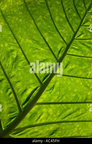 An Alocasia leaf  with the ligth shining through. Feuille d'Alocasia (Alocasia macrorrhiza), éclairée en contre - Stock Photo