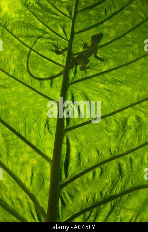 A green crested Basilisk outline (Basiliscus plumifrons), backlit taken. Alocasia macrorrhiza. - Stock Photo