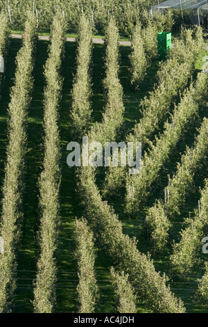 Rows of Vinschgau apple trees, South Tyrol, Italy - Stock Photo