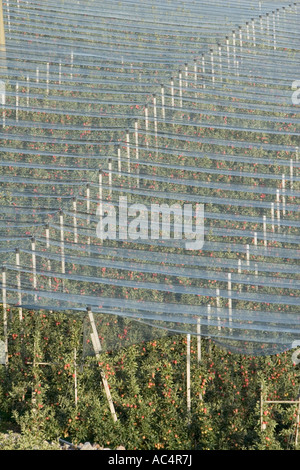 Rows of Vinschgau apple trees under protective nets, with empty crates, South Tyrol, Italy - Stock Photo
