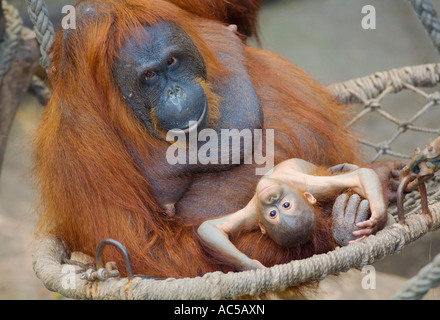 A 23 weeks old male orang utan baby (Pongo pygmaeus) sitting together with its mother in a hammock - Stock Photo