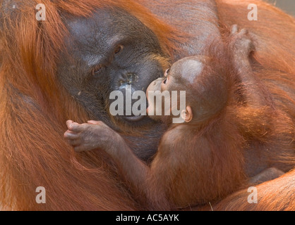 A 23 weeks old male orang utan baby (Pongo pygmaeus) kissing its mother - Stock Photo
