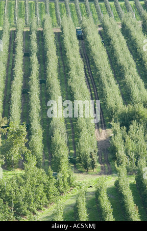 Tractor transporting Vinschgau apples through rows of trees, Alto Adige, Italy - Stock Photo