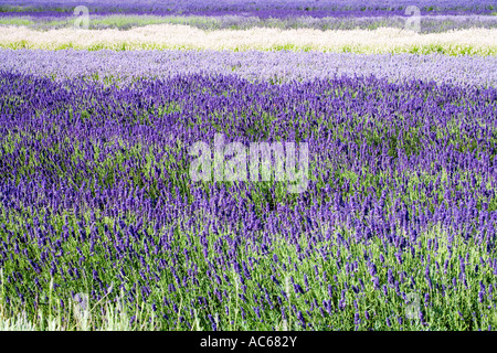 Rows of lavender at Snowshill Lavender Farm, Snowshill, Cotswolds, Worcestershire, England, UK - Stock Photo