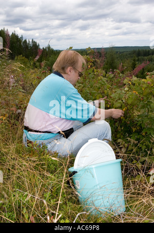 Middle-aged man picking wild raspberries ( Rubus idaeus ) in an clear cutting area in the forest , Finland - Stock Photo