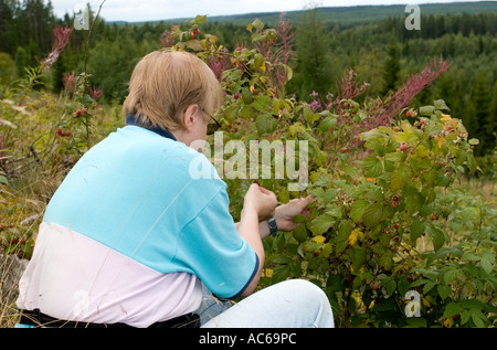 Middle-aged man picking wild raspberries ( Rubus idaeus ) at a clear- cutting area in the forest , Finland - Stock Photo