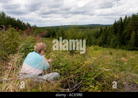 Middle-aged man picking wild raspberries ( Rubus idaeus ) at a clear cutting area in the forest , Finland - Stock Photo