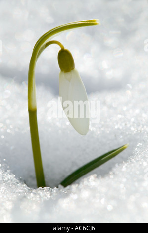 Snowdrop - Stock Photo