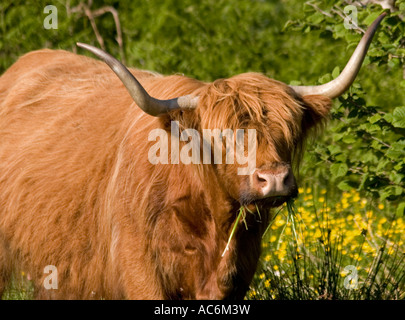 Brown highland cattle with horns and shaggy hair - Stock Photo