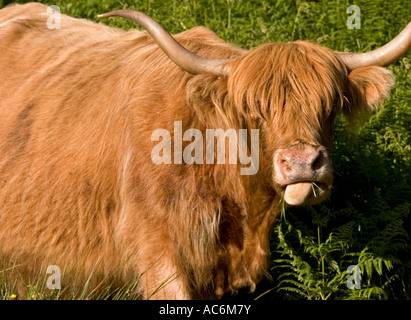 Closeup of highland cattle grazing in field - Stock Photo