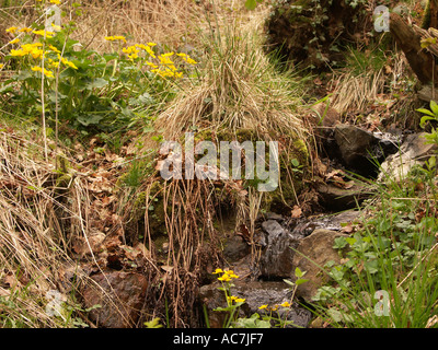a little stream with yellow spring flowers in a forest the malvern hills worcestershire - Stock Photo