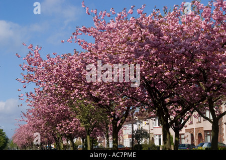 Sheffield south yorkshire uk 30 june 2015 a woman sunbathes near stock photo royalty free - Romanian cherry tree varieties ...