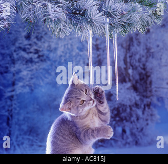 British Shorthair kitten - playing with icicle - Stock Photo